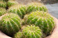 Cactus in clay pot. Cactus in small clay pot in garden Stock Image