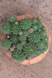 Cactus. Close fresh cactus with vase Stock Images