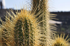Cactus close up. With yellow spikes Royalty Free Stock Photo