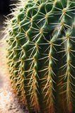 Cactus Close up Stock Images