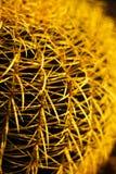 Cactus Close-up Royalty Free Stock Image