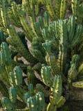 Cactus close-up Royalty Free Stock Photo
