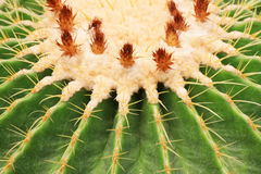 Cactus close-up Royalty Free Stock Images