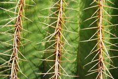 Cactus close up background. Green cactus close up background with sharp spines Royalty Free Stock Images