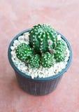 Cactus. Close up of beautiful cactus royalty free stock photography