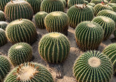 Cactus close up. In garden Stock Photo