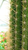 Cactus Close-up. Globe cactus plants close-up Royalty Free Stock Images