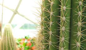 Cactus Close-up. Globe cactus plants close-up Stock Photography
