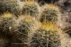 Cactus plantation, close up shot in the sunshine. Cactus. Close up of green succulent or cactus plant with sharp spikes outside royalty free stock image