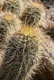 Cactus plantation, close up shot in the sunshine. Cactus. Close up of green succulent or cactus plant with sharp spikes outside stock image