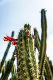 Cactus Close up. Low angle shot cactus on blue sky cloud background stock photo