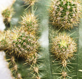 Cactus close-up 2 Stock Image