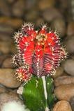 Cactus close-up. Shoot background stone Royalty Free Stock Image