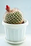 Cactus. Close up of a small cactus Stock Image