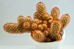 Cactus. Close up of a small cactus Stock Photography