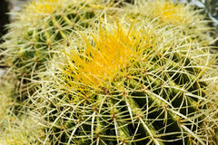 Cactus. Close up of a cactus in the Sonoran Desert in Arizona royalty free stock images