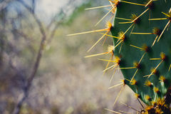 Prickly Pear. Close up of south texas prickly pear cactus.  Real name Opuntia engelmannii Royalty Free Stock Image