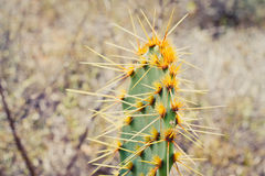 Close up Cactus Royalty Free Stock Image