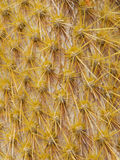 Cactus. Close up of cactus texture background royalty free stock photography
