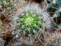 Cactus close-up texture Stock Photography