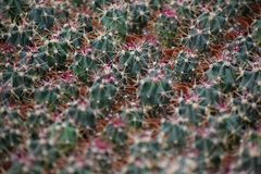 Cactus closeaup background Stock Image