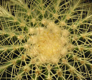 Cactus closeup. Macro of cactus Royalty Free Stock Photo