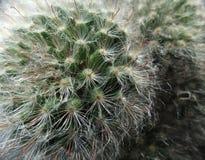 Cactus closeup Royalty Free Stock Images