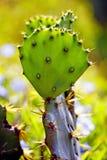 Cactus. Closeup of a backlit cactus Stock Image