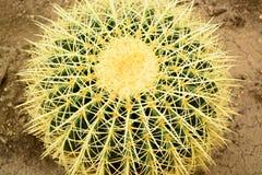 Cactus closeup, Echinocactus grusonii succulente Stock Image