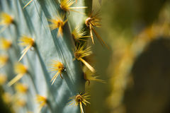 Cactus Closup. Macro photo of a cactus Royalty Free Stock Photography