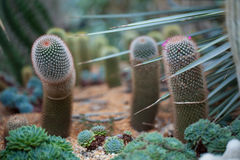Cactus Clouse-up on the beautiful background Stock Image