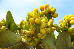 Cactus clouté avec des fruits sur le fond de ciel bleu Photo stock