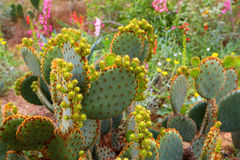 Cactus. Cluster of green bunny ears prickly-pear cactus in a desert garden stock image