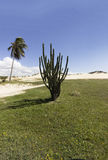 Cactus and Coconuts palm tree - Genipabu dunes in Natal, RN, Brazil Royalty Free Stock Photos