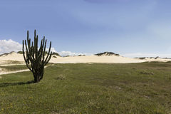 Cactus and Coconuts palm tree - Genipabu dunes in Natal, RN, Brazil Stock Image