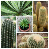 Cactus collage Stock Images