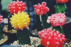Cactus coloré Photos libres de droits