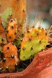 Cactus coloré Photo libre de droits