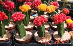 Cactus coloré Images stock