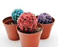 Cactus Color Royalty Free Stock Photos