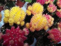 Cactus coloreado Imagen de archivo