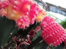 Cactus coloreado Imagen de archivo libre de regalías