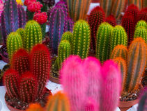 Cactus coloreados inusuales Imágenes de archivo libres de regalías
