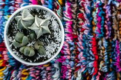 Cactus on colorful background. Succulent on multicolored background royalty free stock images
