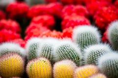 Cactus colorido de la bola Imagen de archivo libre de regalías