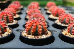 Cactus colorido en potes Fotografía de archivo libre de regalías
