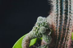 Cactus come tendenza all'interno dell'ufficio ed a casa fotografie stock