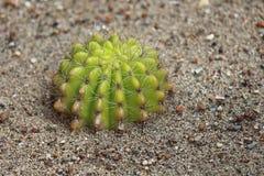 Cactus, comme pour élever l'arbre de jardin Images libres de droits