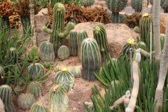 Cactus, comme pour élever l'arbre de jardin Photos libres de droits