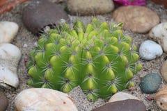 Cactus, comme pour élever l'arbre de jardin Photo stock